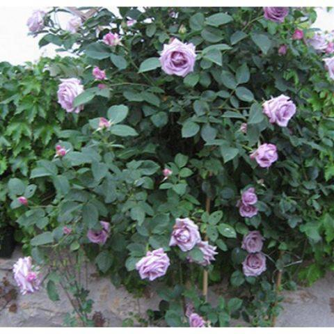 Необычная сиреневая плетистая роза индиголетта: описание с фото, посадка, цветение, размножение и уход