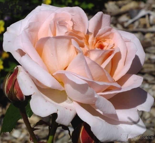О лучших сортах розы renaissance: изабель, ghita, амелия, бонита, каприция, клер
