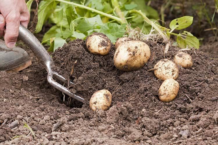 Методы и технологии выращивания картофеля: посадка, возделывание