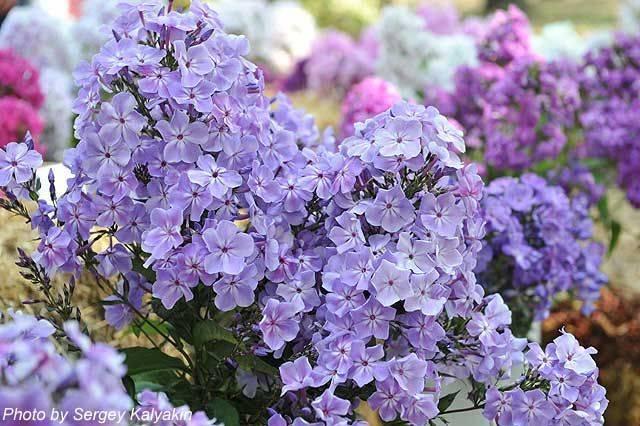 Виды и сорта эустомы (73 фото): описания фиолетовых махровых и синих, сиреневых цветов. «сапфир», «алиса» и другие сорта