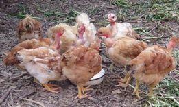 Описание голошейных кур и особенности кормления голошейки
