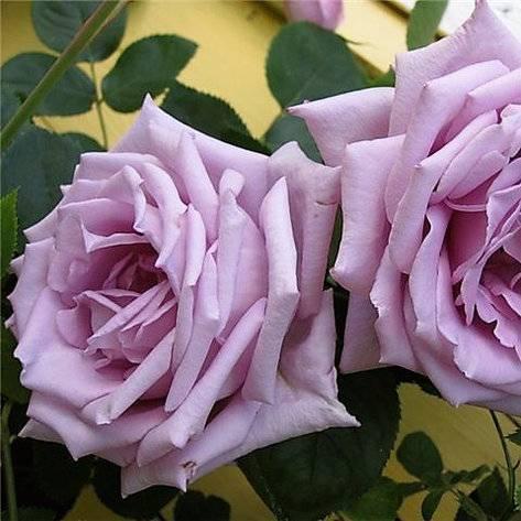 Роза гейша