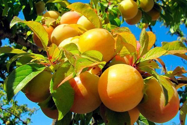 Всё про желтую сливу: описание сортов, посадка и агротехника выращивания