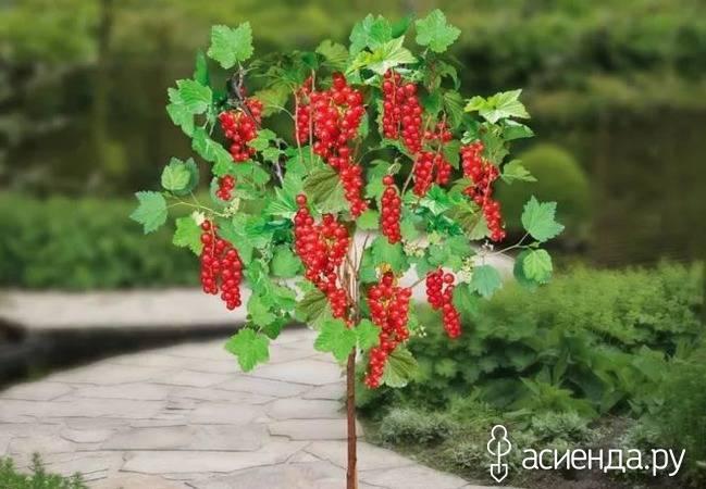 Штамбовая смородина, как вырастить смородиновое дерево?