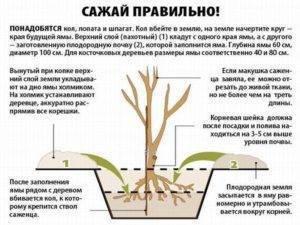 С чем рядом сажать сливу на садовом участке