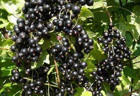 Смородина чёрная тисель: характеристика сорта и особенности выращивания