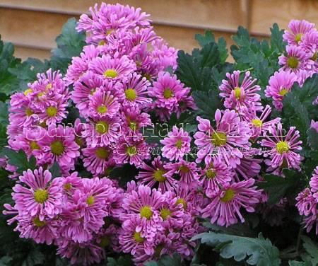 Хризантема садовая многолетняя: посадка и уход, фото сортов