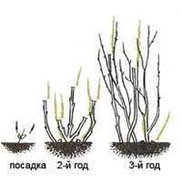 Обрезка крыжовника осенью и в другое время года: формирование куста, схема для начинающих