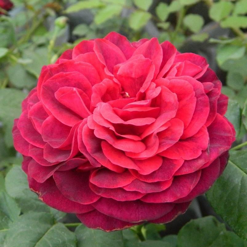 Ароматные розы кордеса — новинки серии parfumа