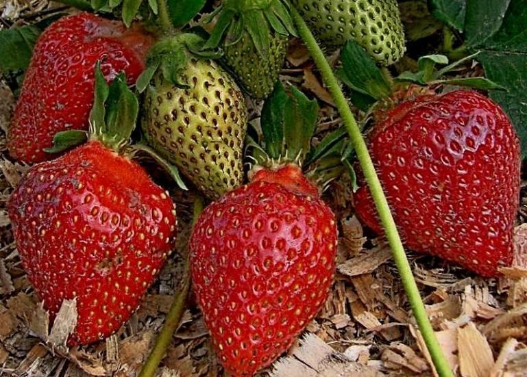 Клубника «царица» – царская ягода на вашем столе