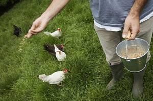 Кормление кур-несушек в домашнем хозяйстве
