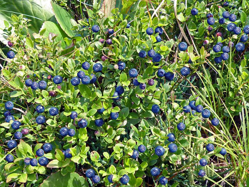 Когда собирают чернику — ягоды грибы