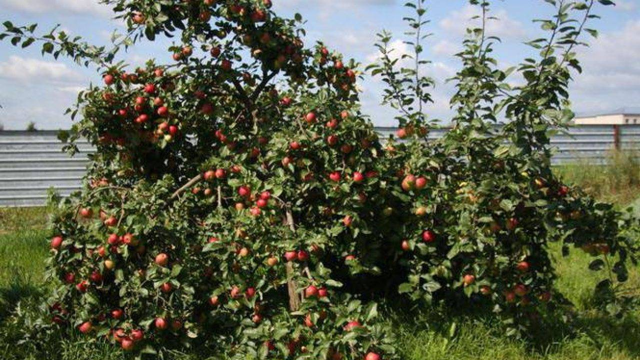 Плодовый сад и питомник - описания и фото сортов яблони