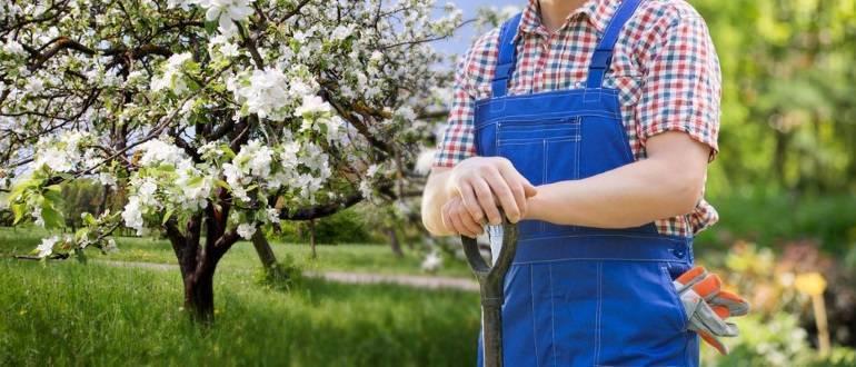 Яблоня: подготовка почвы и посадка
