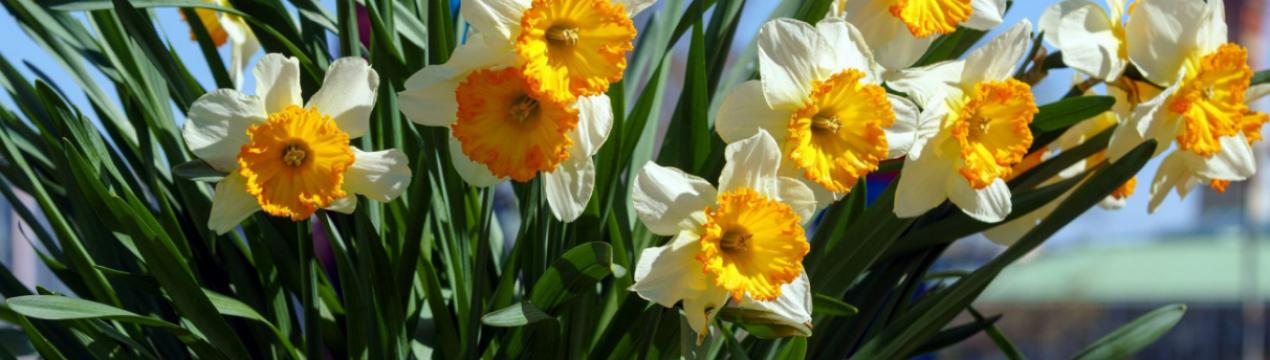 Нарциссы - посадка и уход в открытом грунте во время и после цветения
