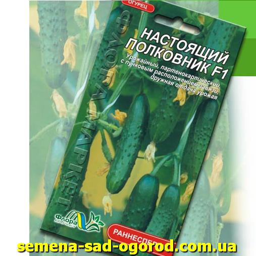 О сорте огурцов «младший лейтенант»