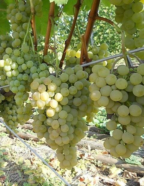 Сорт винограда цитронный магарача: описание, посадка и уход