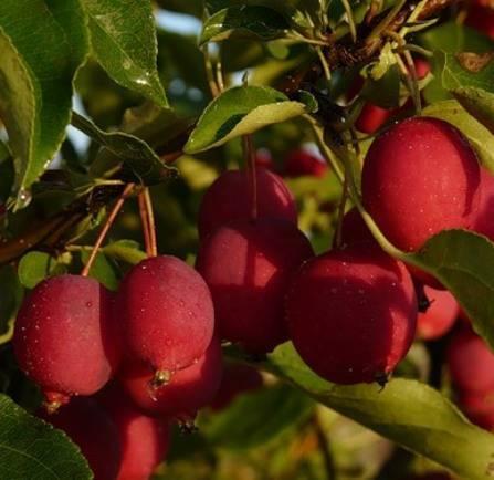 Самый вкусный сорт на свете яблоня долго (китайка)