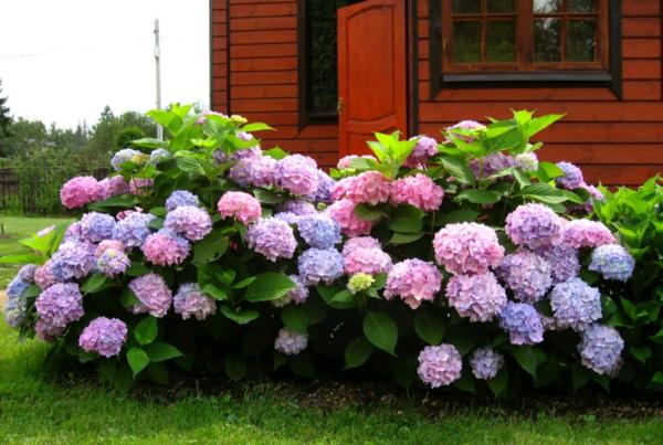 Почему не цветут метельчатые и крупнолистные гортензии: как заставить зацвести