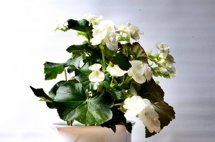 Бегония элатиор: уход в домашних условиях, фото, а также размножение черенками красивоцветущего растения