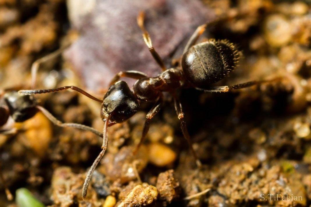 Как избавиться от садовых муравьев в огороде народными средствами?