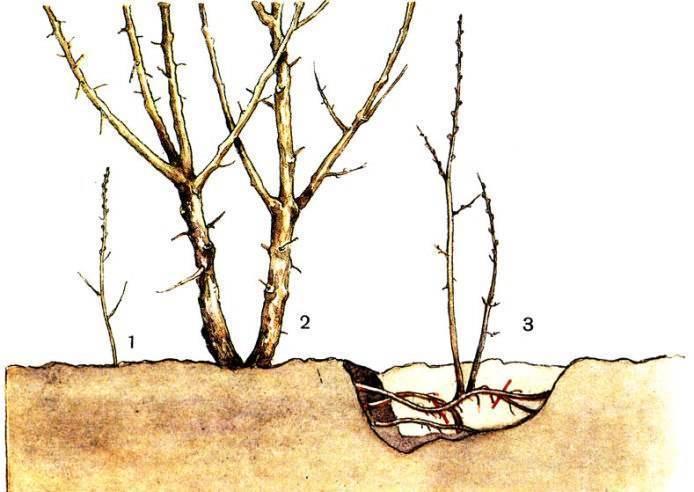 Грамотное размножение малины весной