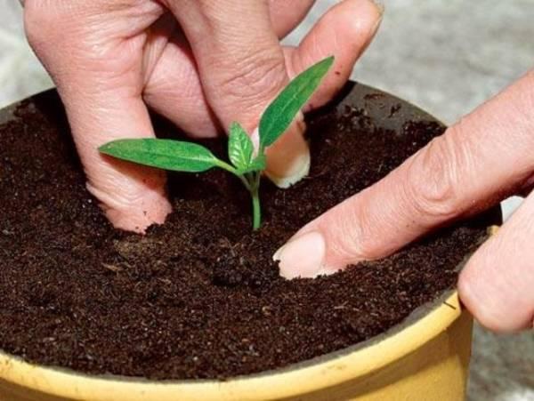 Как вырастить сливу из косточки в домашних условиях