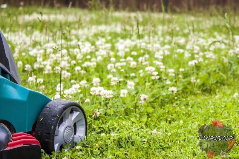 С чем садить красный клевер. подскажите, как сажать белый клевер для газона?