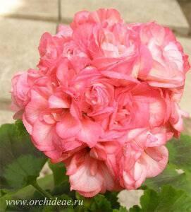 Почему пеларгонию дениз считают лучшей из розебудных сортов растения, и как ухаживать за этим цветком?