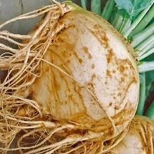 Когда и как сажать семена брюквы? практические рекомендации по выращиванию овоща