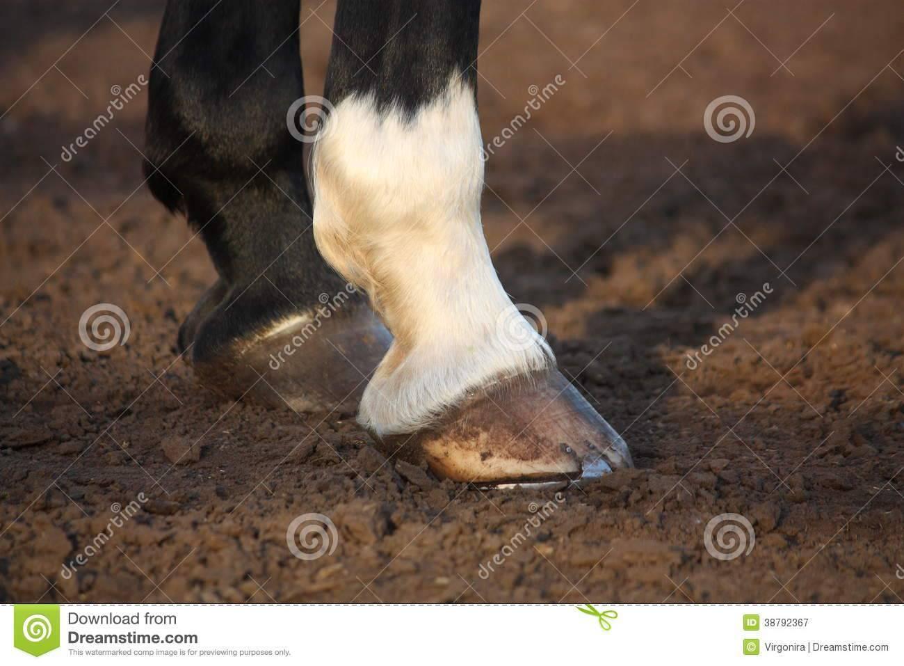 Абсцесс копыта у лошадей