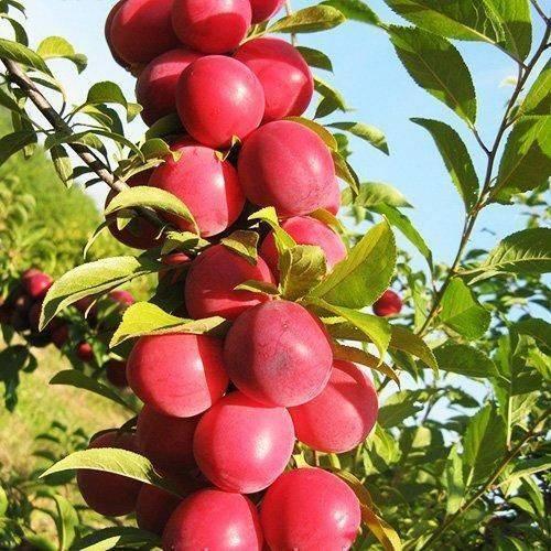 Колоновидные плодовые деревья: особенности и недостатки, посадка и уход