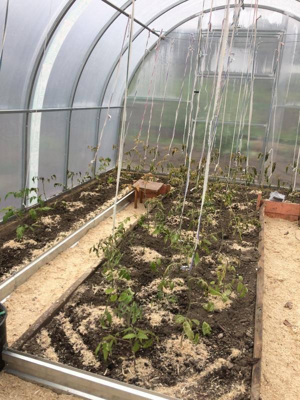Как выращивать помидоры в теплице?