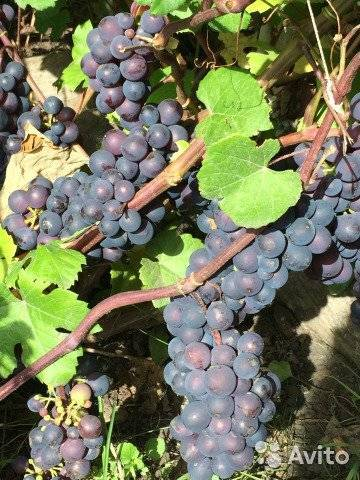 Фиолетовый ранний виноград
