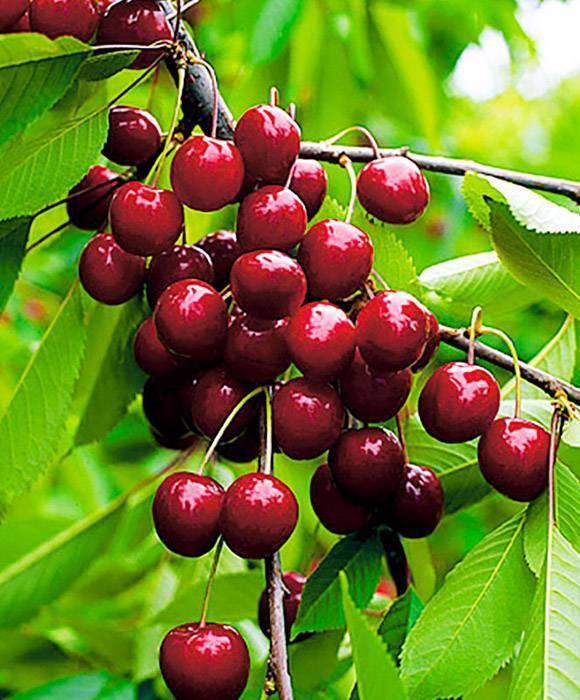 О вишне тамарис: сортовая специфика