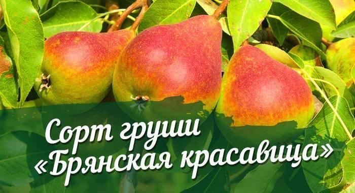 Груша русская красавица