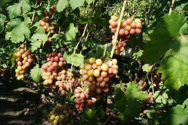 Виноград сорта гурман: ранний и лакомка