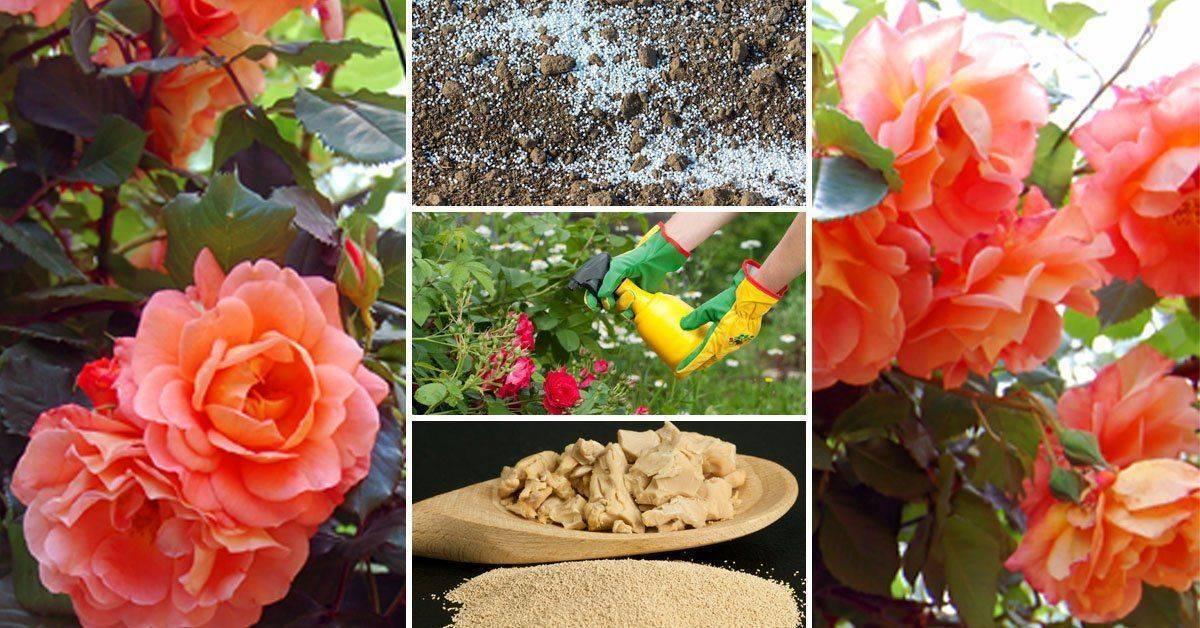 Чем подкормить розы в июне - минеральные удобрения и народные средства