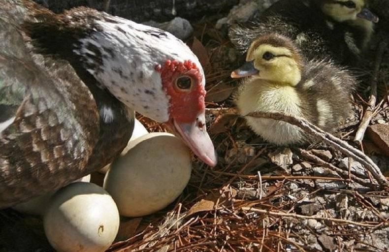 Сколько же сидят утки на яйцах