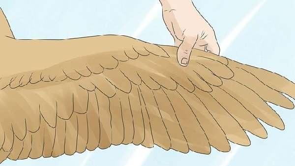 Как обрезать крылья индюкам чтобы не летали