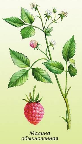 Ремонтантная малина: посадка и уход, фото, выращивание из саженцев, обрезка, размножение