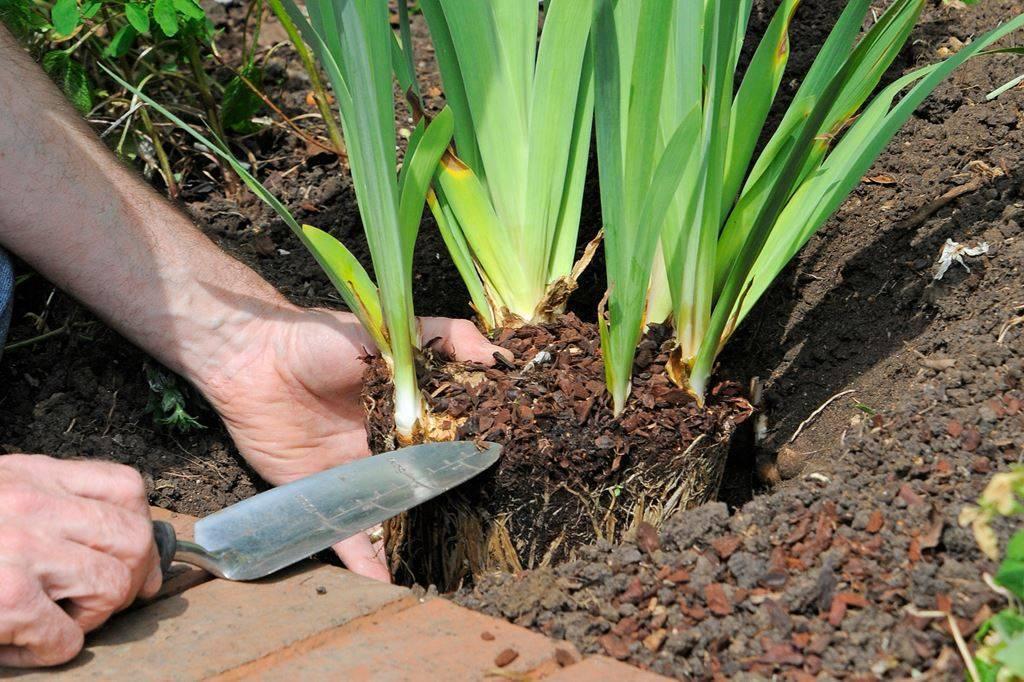 Уход за ирисами после цветения — когда надо обрезать листья