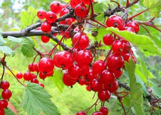 Красная и черная смородина: фото, описание, видео посадки, ухода, размножения кустов в открытом грунте