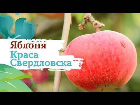 Яблоня краса свердловска: описание и характеристика сорта