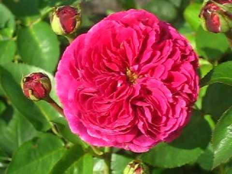 Потрясающая роза фальстаф: подробная информация о цветке