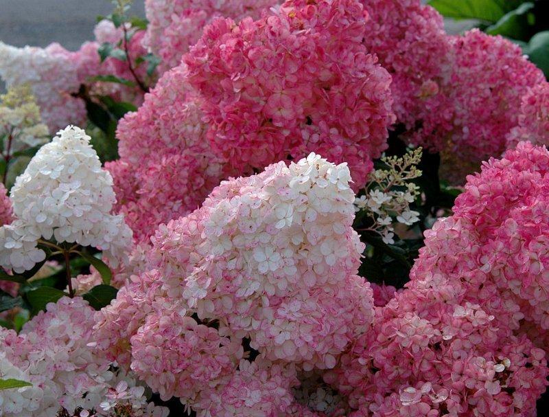 Чем подкормить гортензию? удобрение гортензии весной и летом для пышного цветения в саду. подкормка лимонной кислотой и кефиром