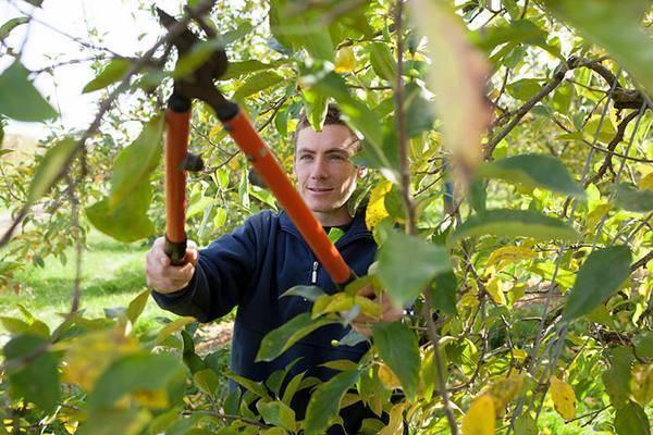 Как правильно обрезать деревья - санитарная обрезка плодовых деревьев (фото)