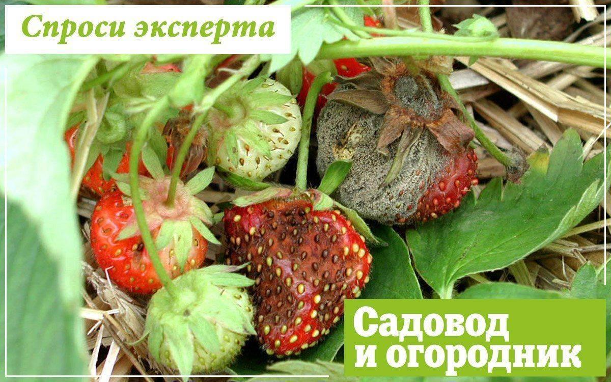 Обработка клубники весной от болезней и вредителей