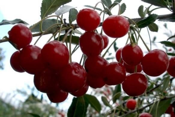 Какие сорта вишни лучше сажать в подмосковье?