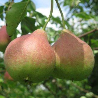 Столичная штучка, или особенности выращивания груши сорта москвичка